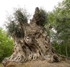 santander olivo